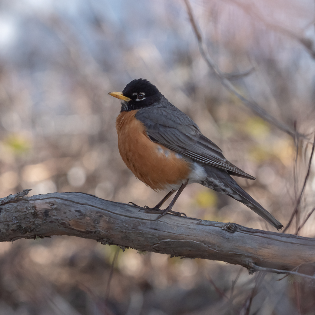 One of the first signs of spring, the robin.