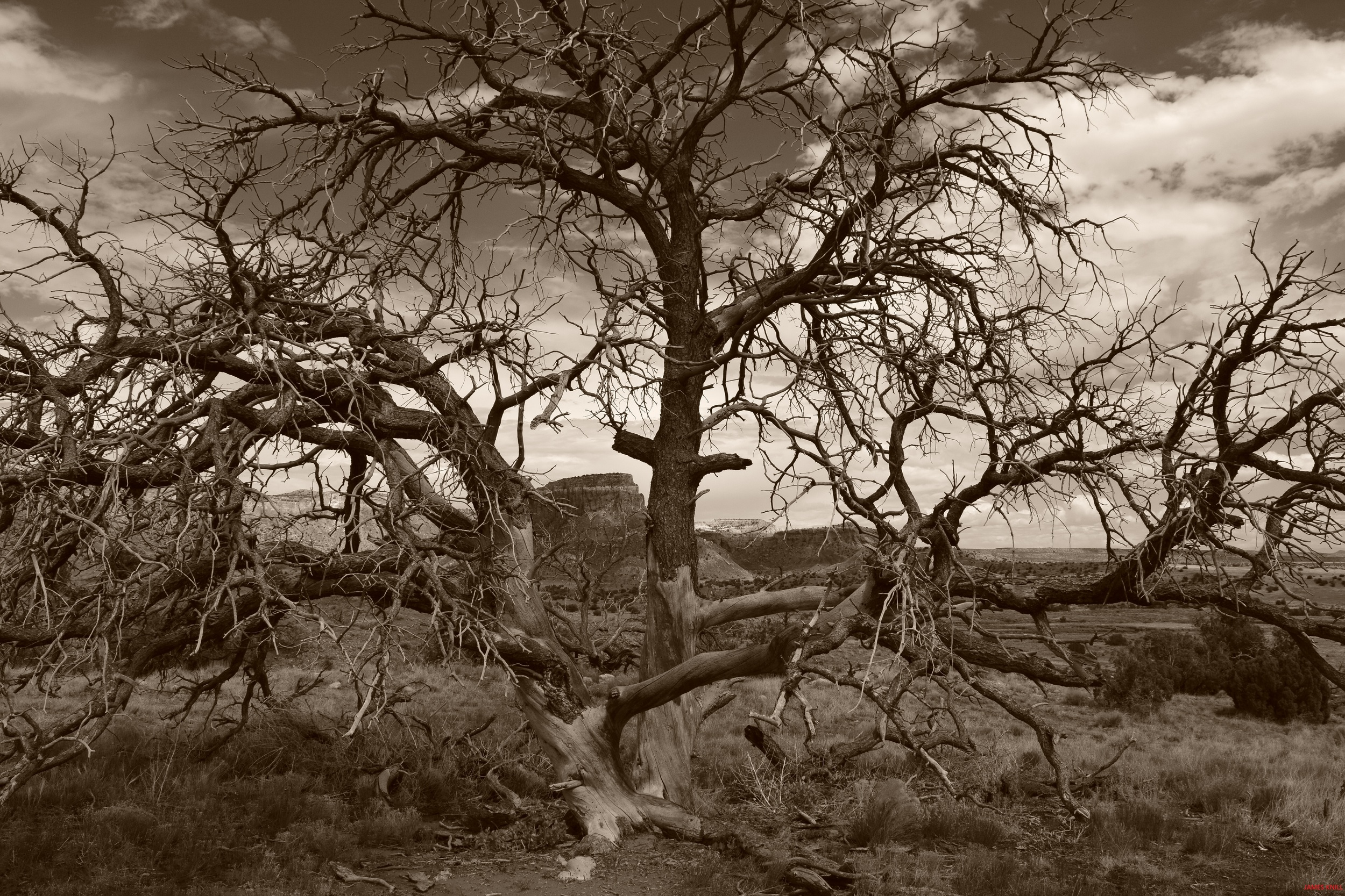 Ghost Ranch, New Mexico Tree