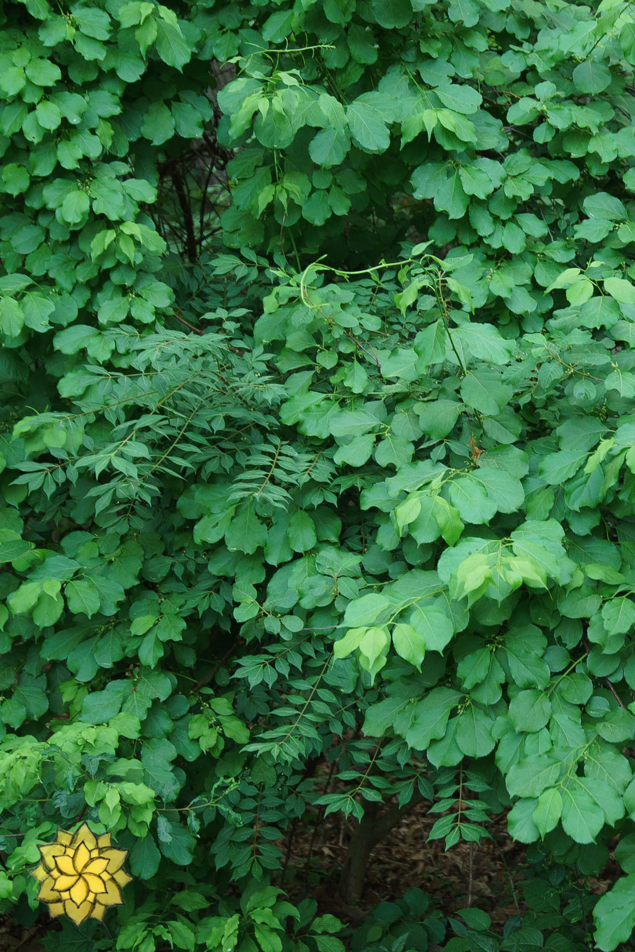 Invasive Plant Management - One of the most pressing issues our landscapes and ecosystems face is the ever expanding growth of invasive plants. Invasive plants form mono cultures in our ecosystems and threaten the diversity of our native plant life. As a result this has a detrimental impact on the biodiversity our landscapes can support. We follow best industry practices to control invasive growth in our landscapes and see invasive plant management as an integral component to our work in promoting native plants and maximizing biodiversity.