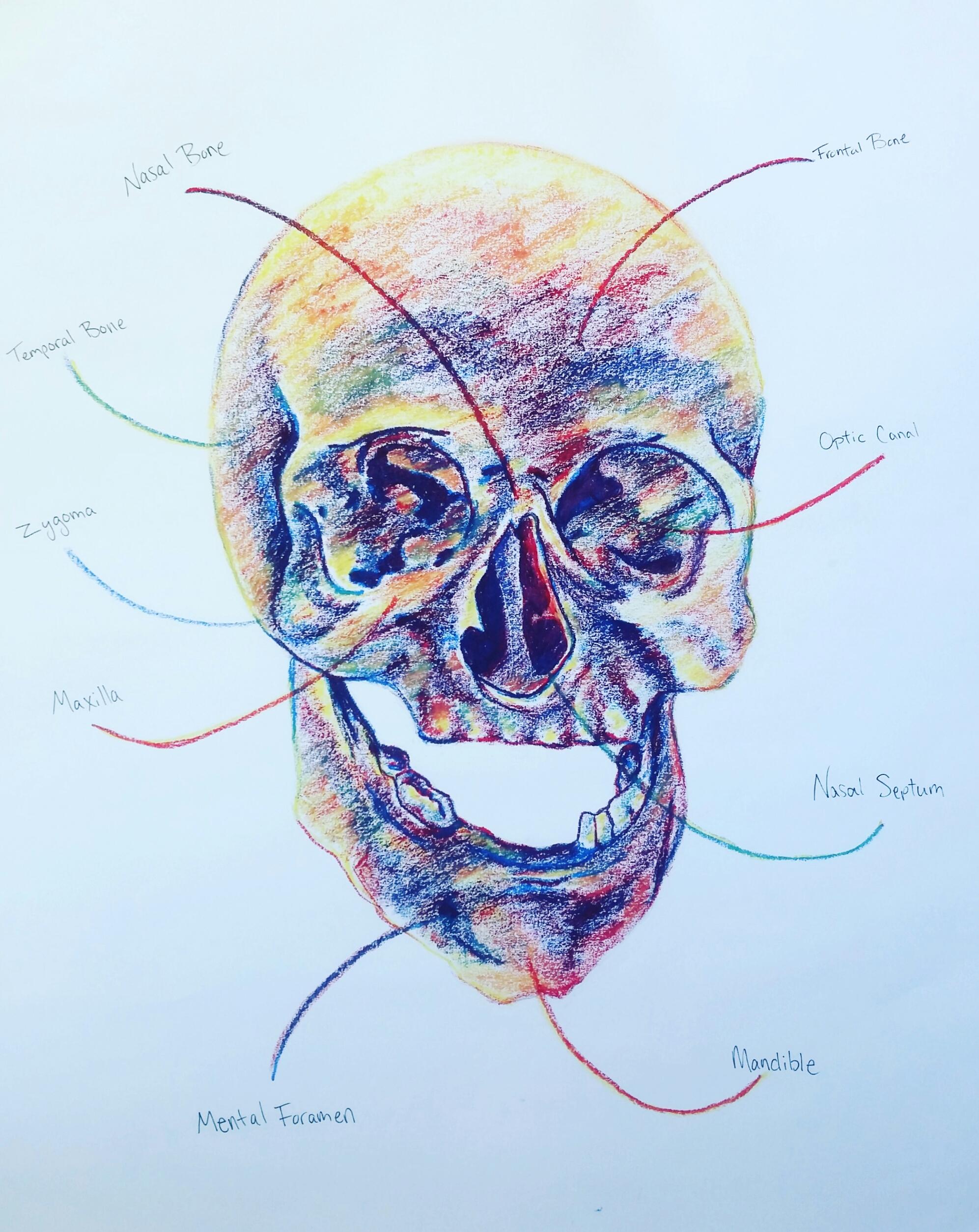 anatomical skull.jpg