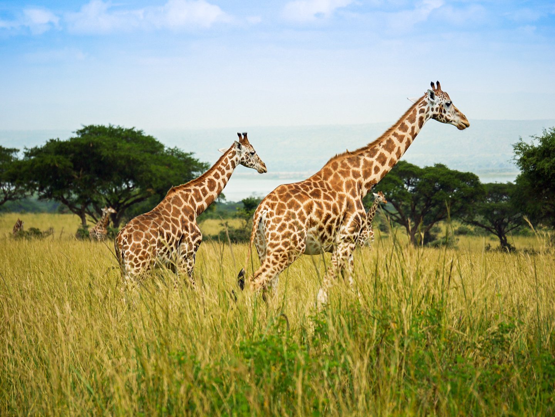 Murchison Falls National Park    Im Murchison Falls National Park schießt der Fluss Nil durch eine schmale Schlucht und fällt herab, wo er zu dem breiten Fluss wird, den wir alle kennen. Seine Ufer sind übersät mit Nilpferden, Krokodilen, Wasserböcken und Büffeln. An Landschaftsarten kann man Savanne, Flusswald und Wälder finden. Zur örtlichen Tierwelt gehören Löwen, Leoparden, Elefanten, Giraffen, Oribis, Schimpansen und viele verschiedene Vogelarten.