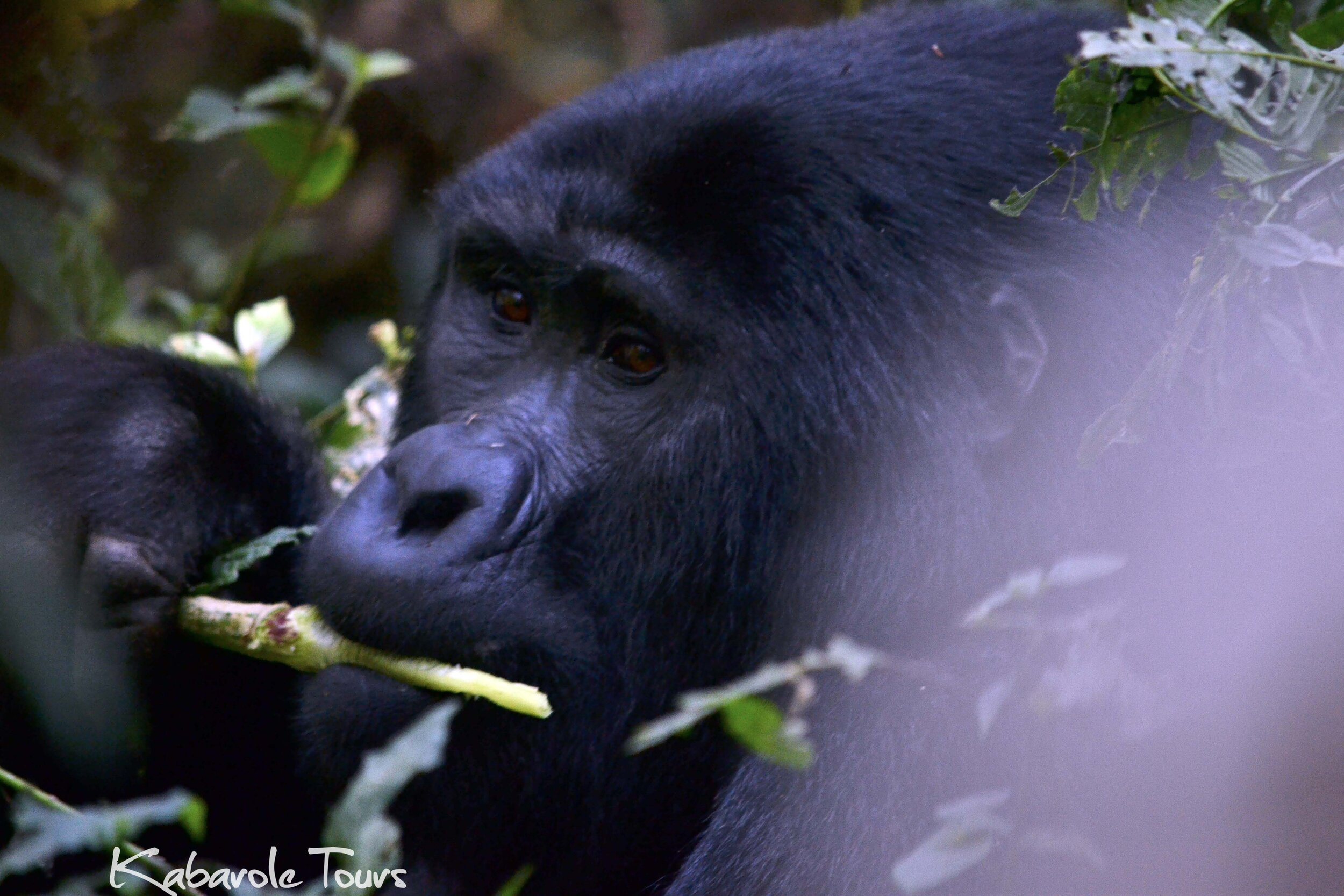 Gorilla tracking in Bwindi NP