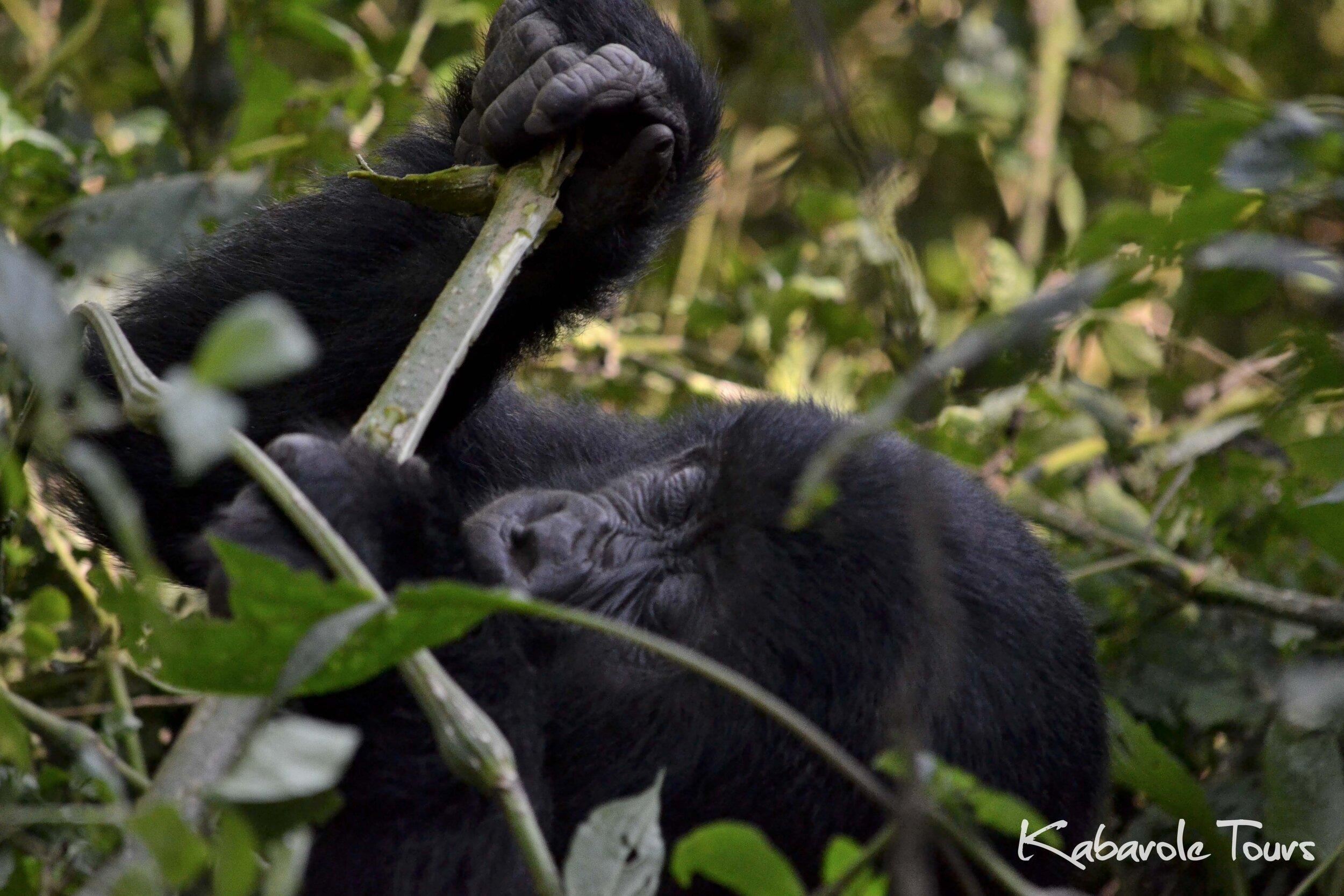 Gorillas in the mist (2 Days)