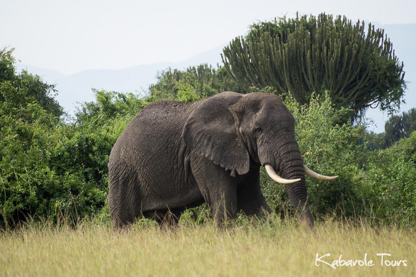 Queen Elizabeth National Park    Q.E.N.P liegt ca. 80 km südlich von Fort Portal. Es ist einer der beliebtesten Parks in Uganda mit vier verschiedenen Landschaftsarten. Der Park ist Heimat von fast 100 Arten von Säugetieren, wie z.B. Elefanten, Nilpferde, Leoparden und Löwen. Im südlichen Teil kann man außerdem die seltenen Baum kletternden Löwen sehen.