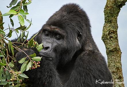 Bwindi National Park    Sich im Bwindi Forest auf die Spur von Berggorillas zu begeben ist ein absolutes Highlight von Reisen in Uganda. Uganda ist die Heimat von sieben verschiedenen Gorilla Familien: Rushegura, Habinyaja, Mubare, Bitukura, Nkuringo, Nsongya and Mishaya. Wandere in den Bergen von Bwindi und begebt euch auf die Suche nach den beeindruckenden Tieren und seht selbst, wie sie ihr Leben führen.