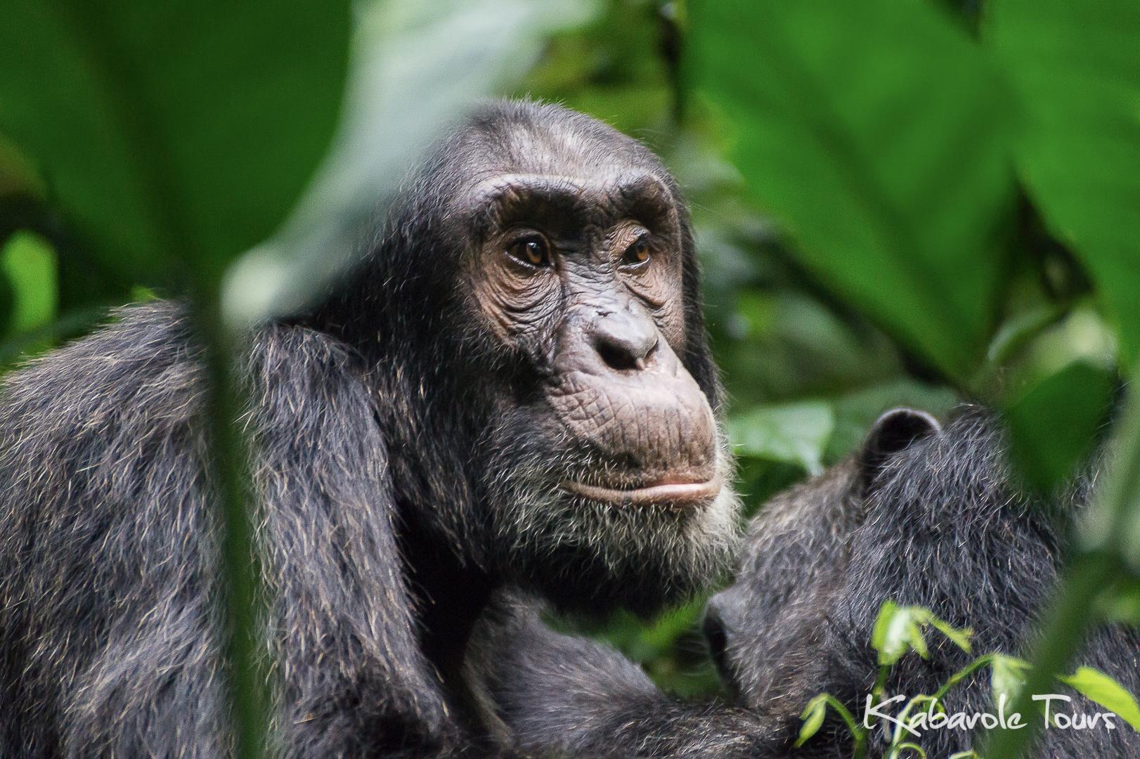 Kibale National Park    Die Dichte und Vielfalt an Primaten im Kibale Forest ist die höchste in ganz Afrika. Die berühmtesten von den 13 Affenarten sind die Schimpansen, unsere nächsten Verwandten. Kibales 1450 Schimpansen sind die größte Gruppe der gefährdeten Spezies in Uganda. es leben auch noch andere Säugetiere im Wald, werden jedoch nur selten gesehen, wie z.B. Büffel, Leoparden, Buschschweine, Elefanten und Ducker. Wenn man ganz genau schaut, kann man außerdem Amphibien, Reptilien und eine Reihe von bunten Schmetterlingen entdecken.