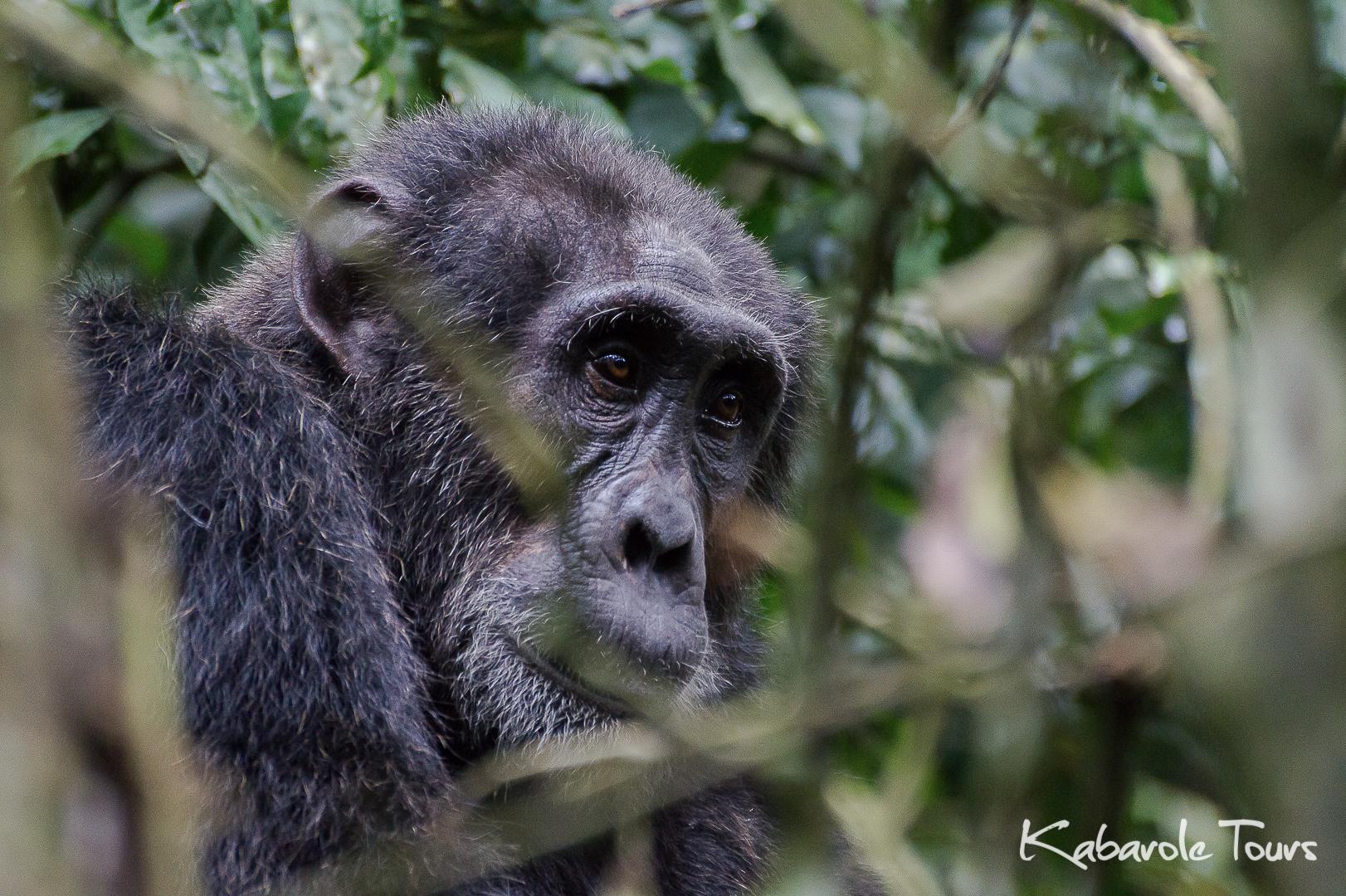 Chimp Tracking Habituation Experience