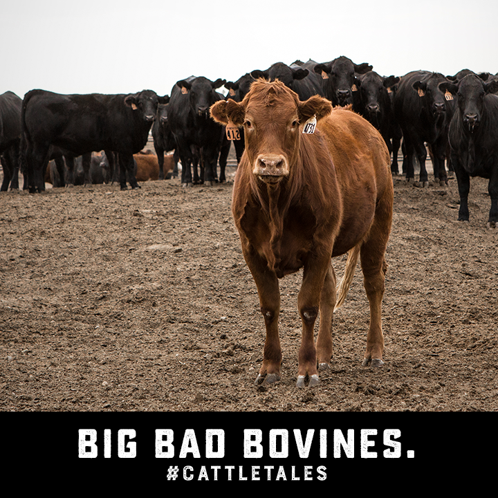 Square 8A-Bad Bovines.png