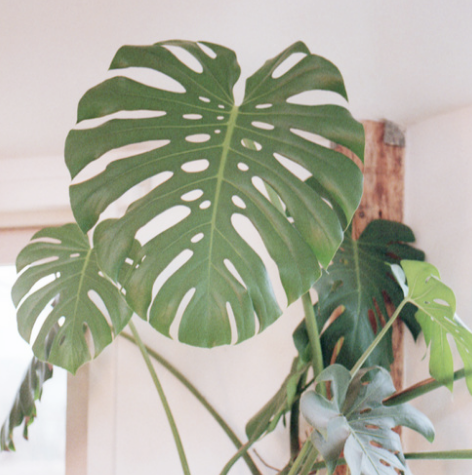 "This is a 20-year-old monstera deliciosa in the house of one of my photography teachers. The plant grew all the way up to the ceiling. In Colombia, where I am originally from, this plant is called ""balazo"" and is normally entangled around tall trees in tropical forests."
