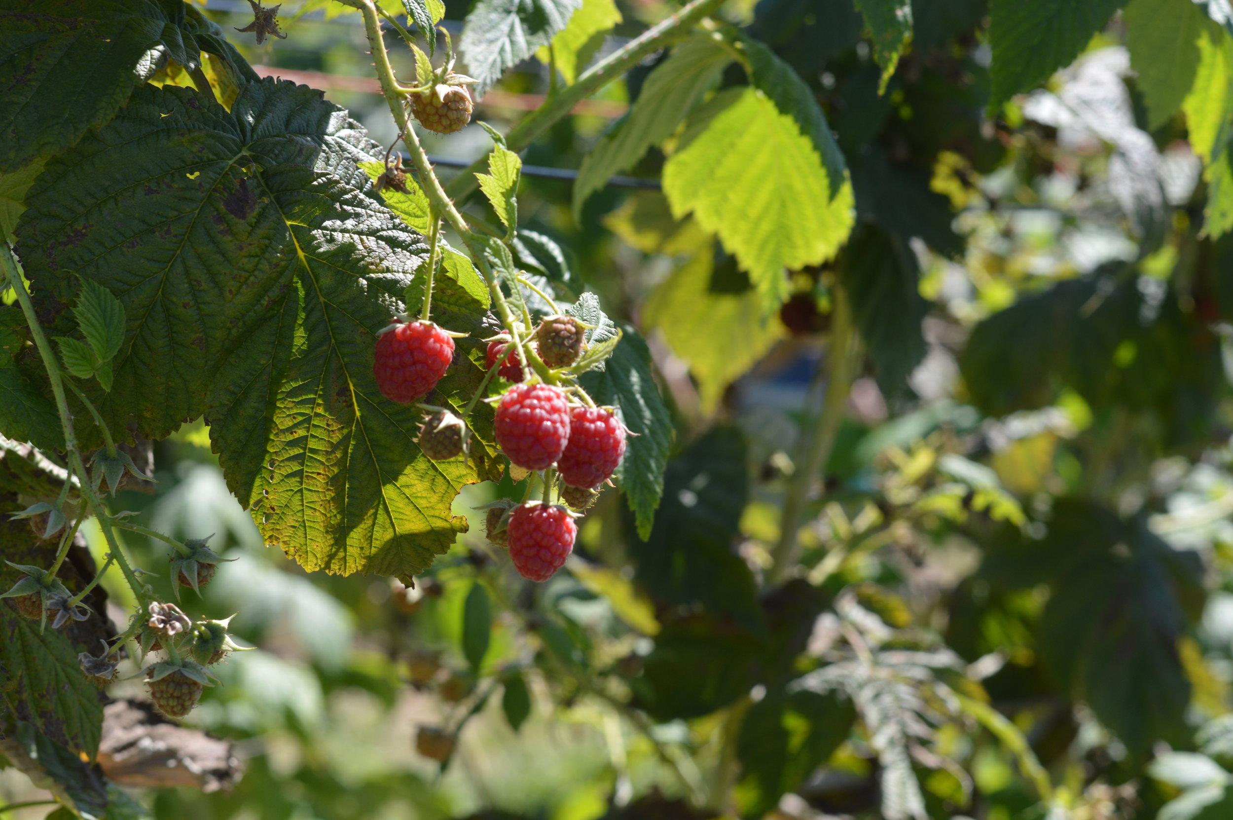 berry picking in michigan