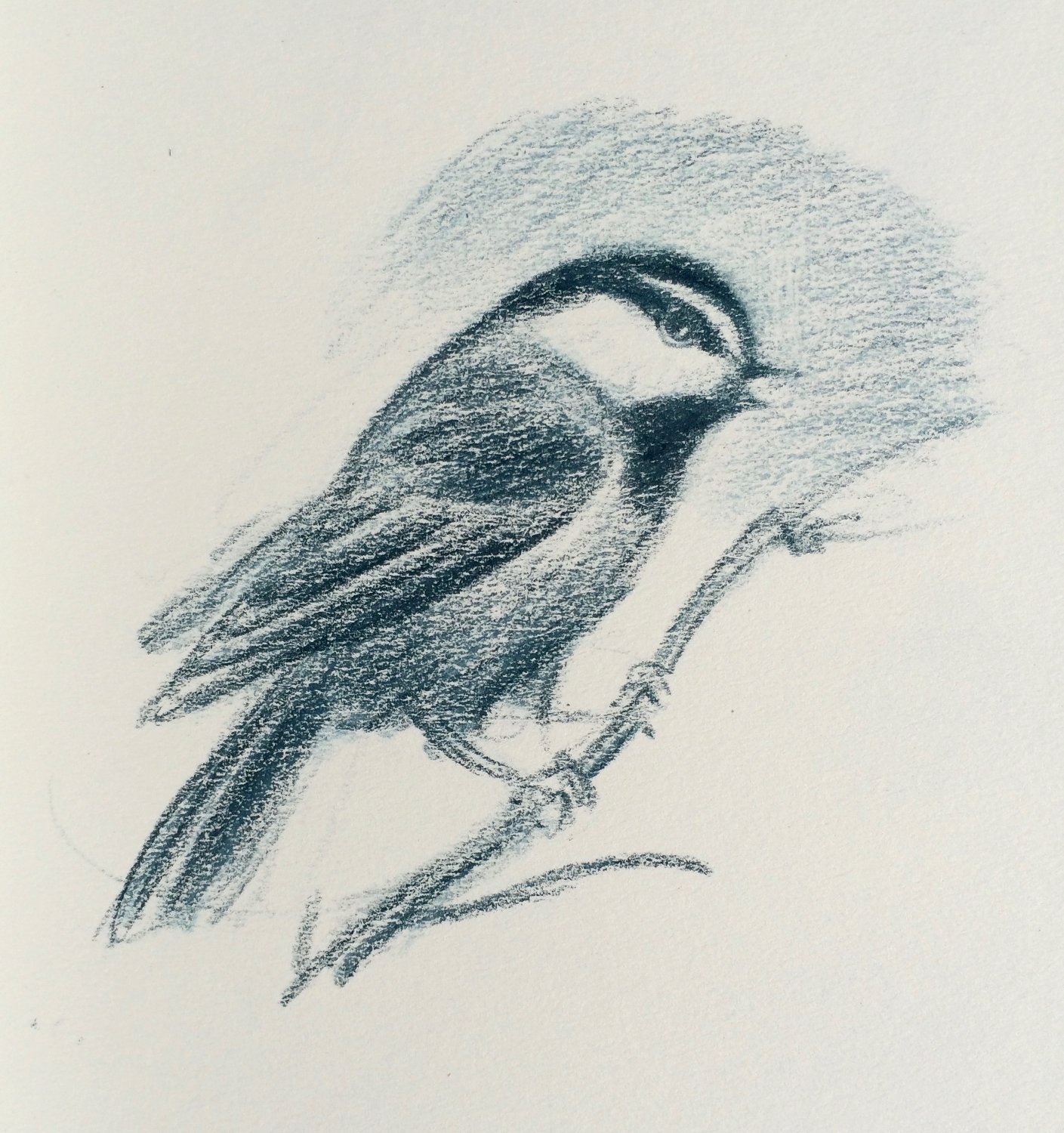 Rocky Mountain Chickadee