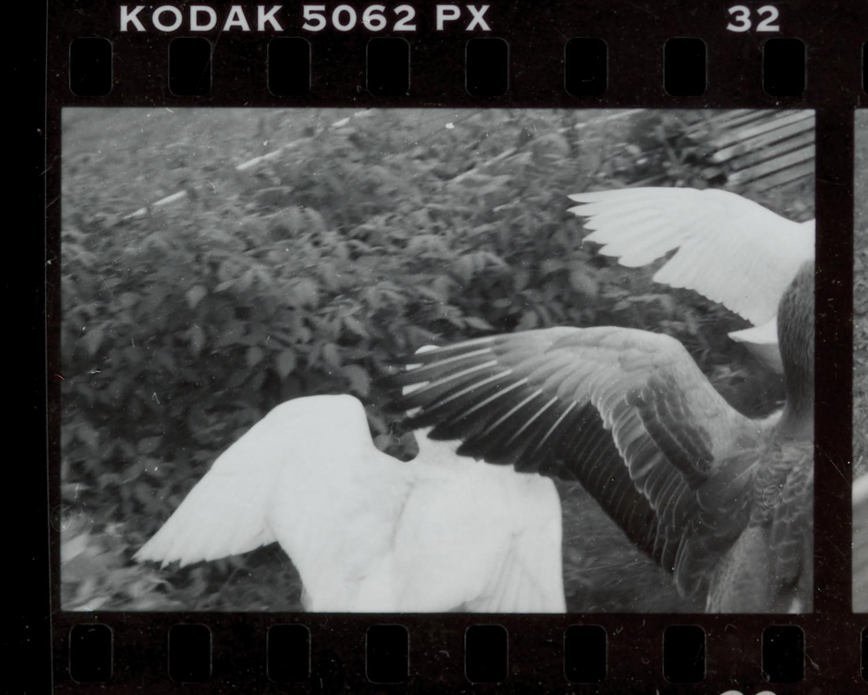 film_geese.JPG