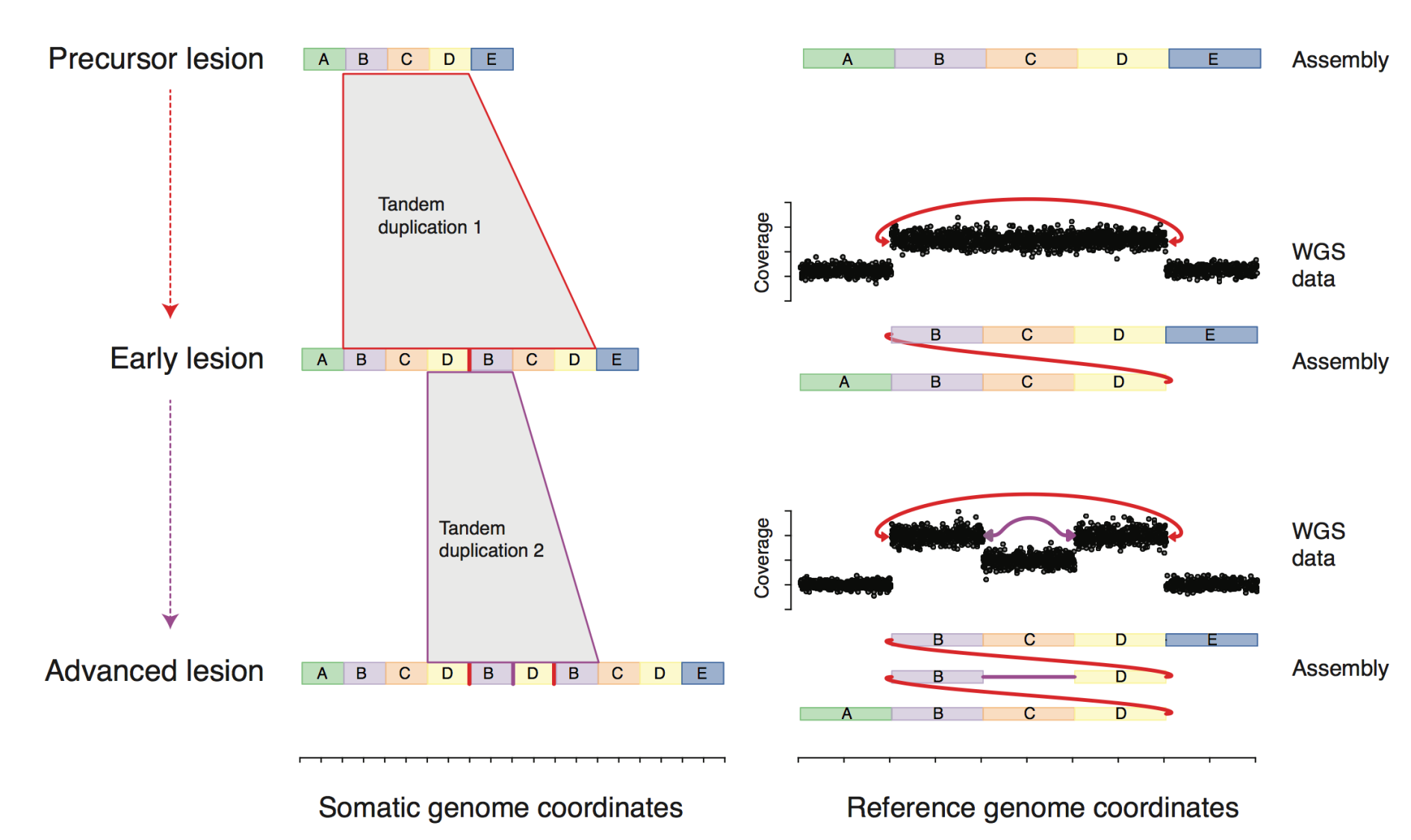 evolution of complex DNA rearrangements in cancer