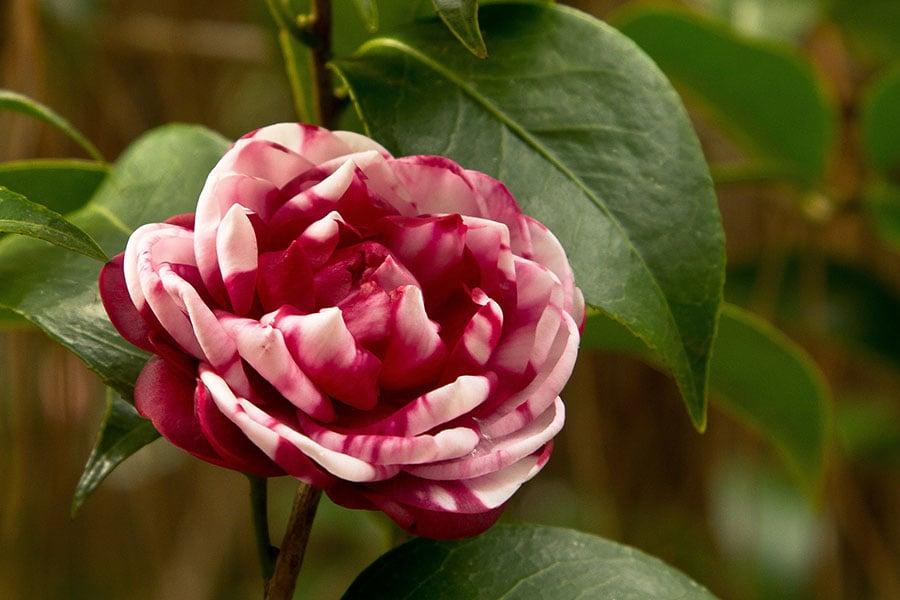 2010_1220_Peppermint_Camellia-1A.jpg