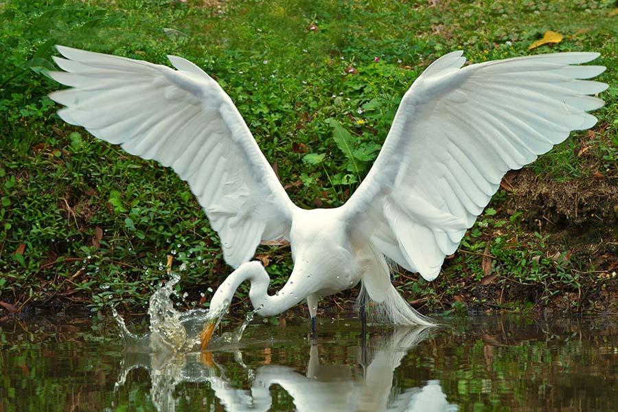 2012-0302_Great_Egret_Avery_Island-5A.jpg