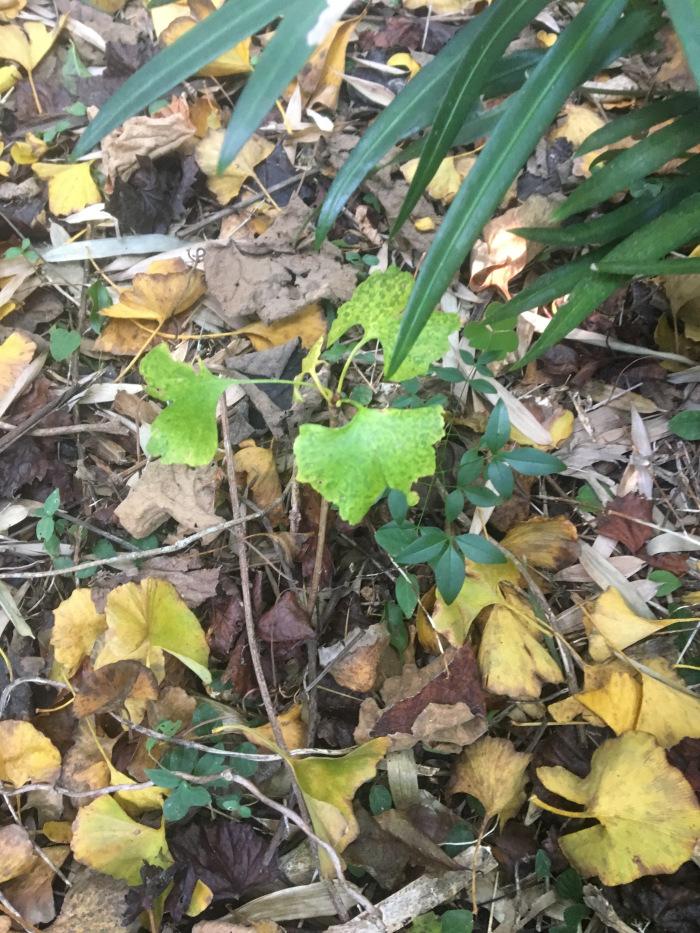 Ginkgo Seedling