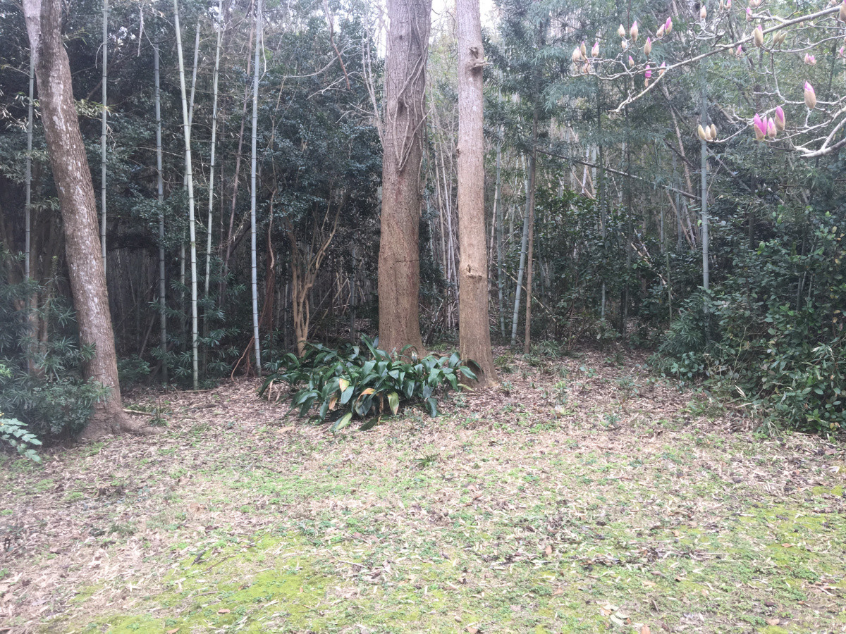 The forest now cut back exposing the two Ginkgo trees and Aspidistra at their base.