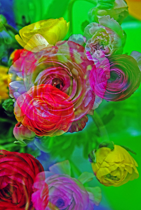 Ranunculus for Mom