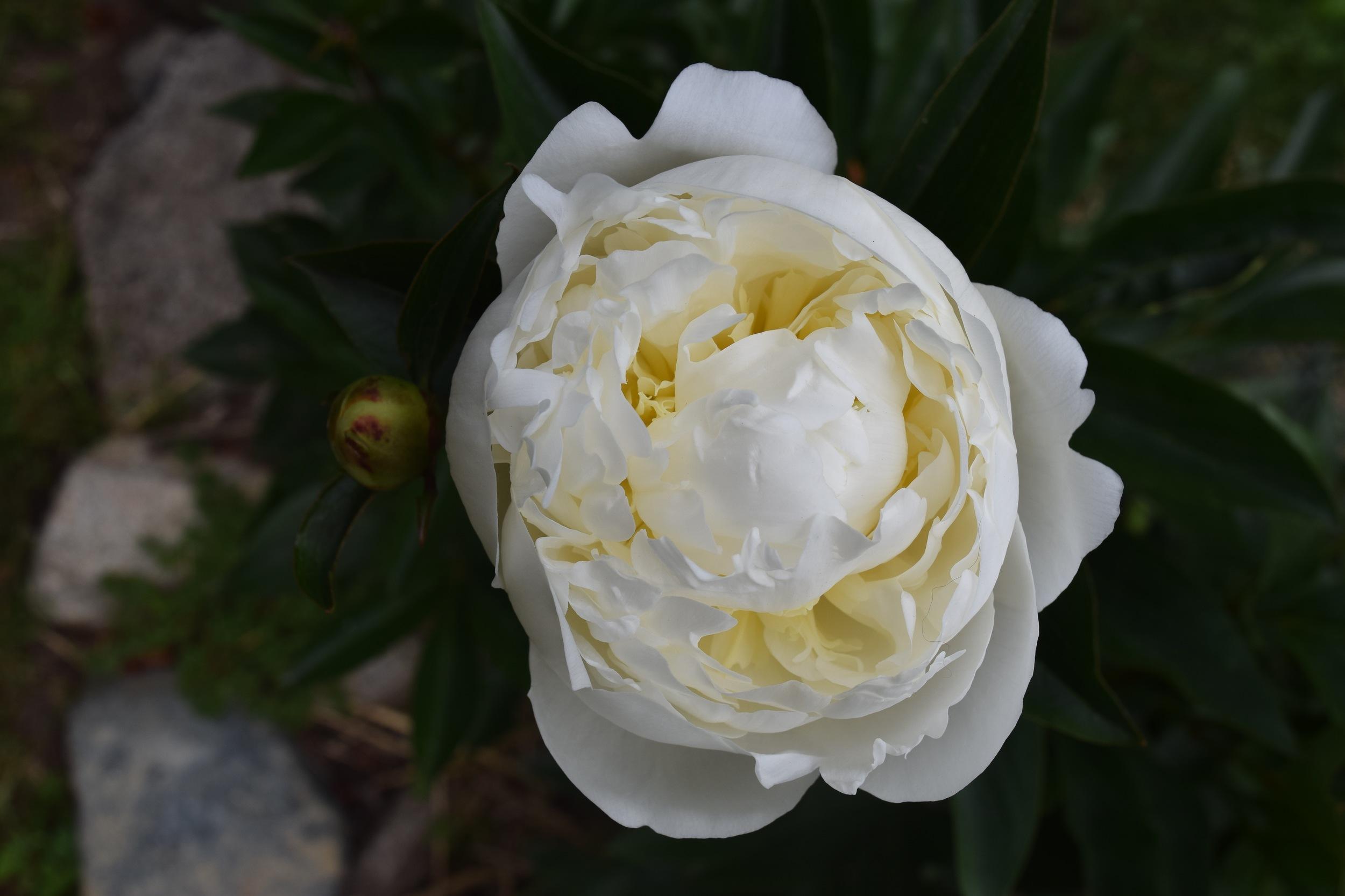 White peony flower  photo: Claire Nollman