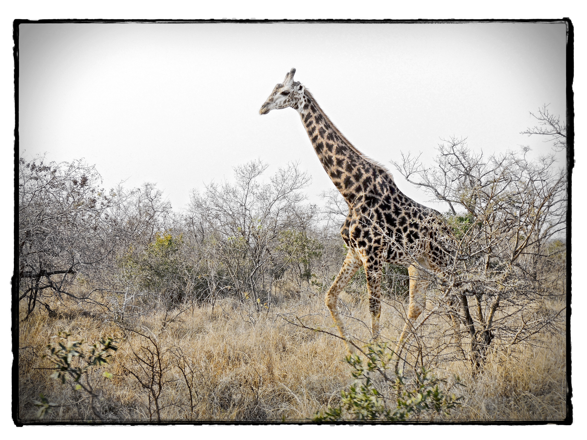 Thornybush #4