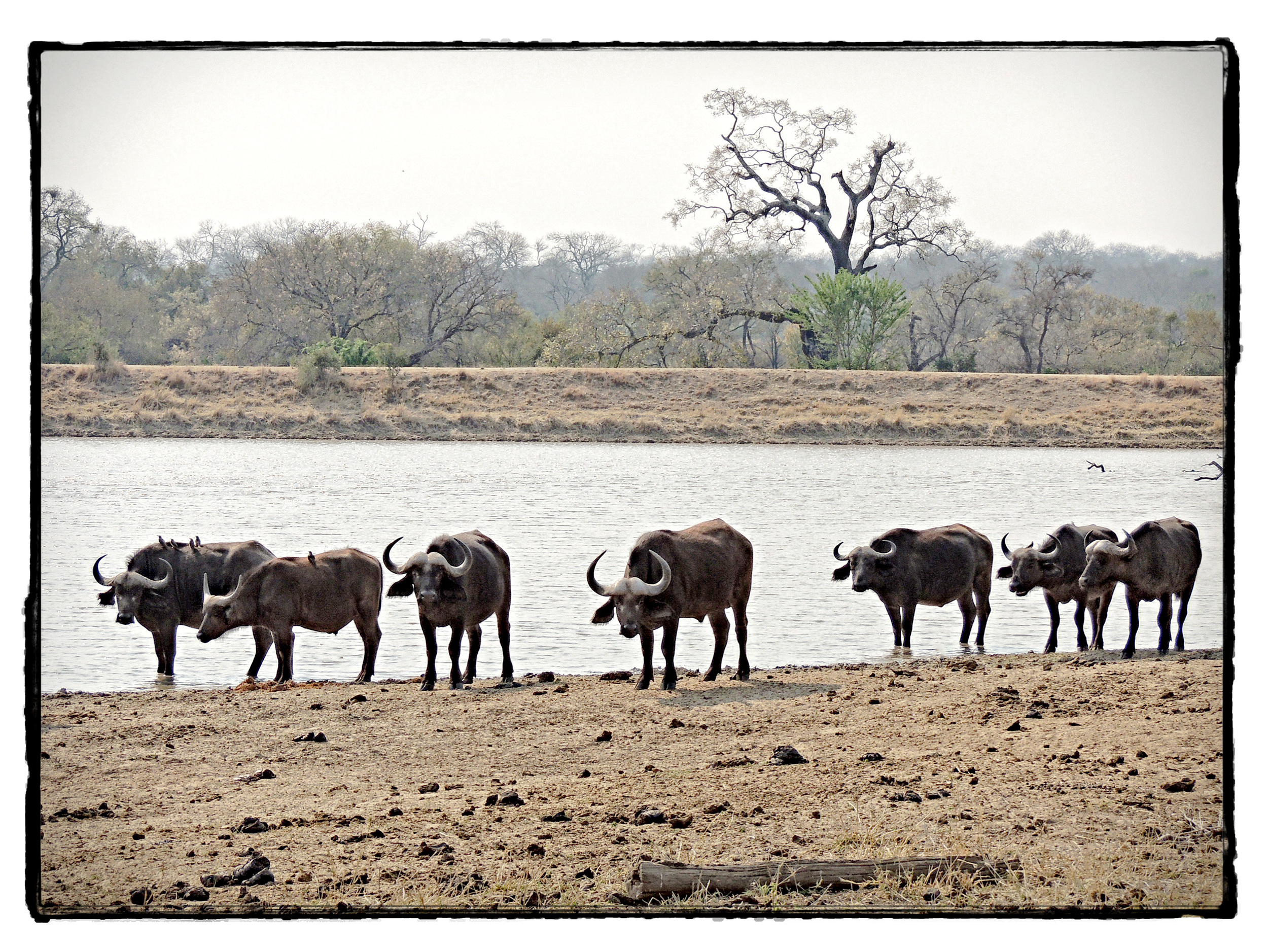 Thornybush #11