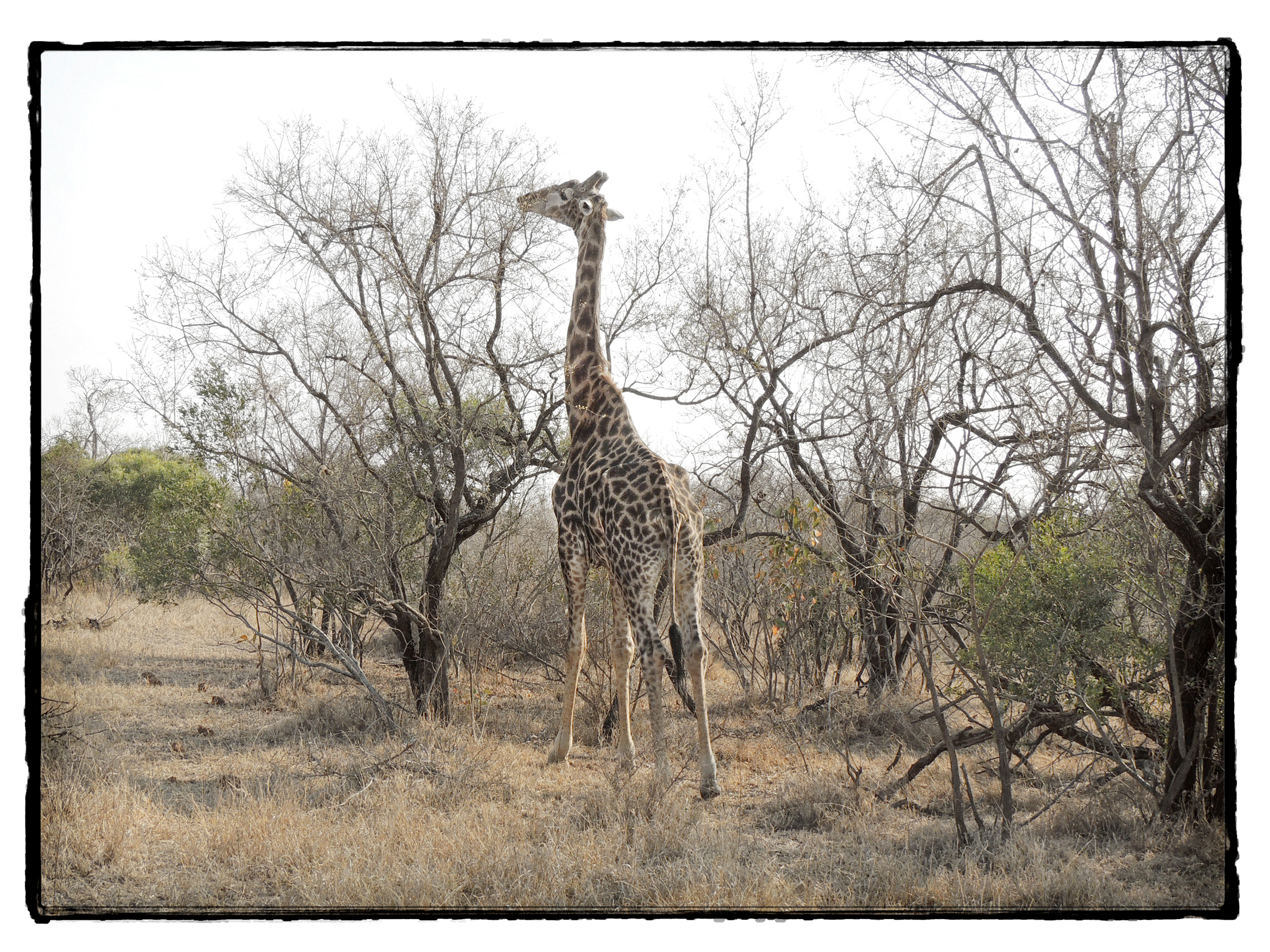 Thornybush #13