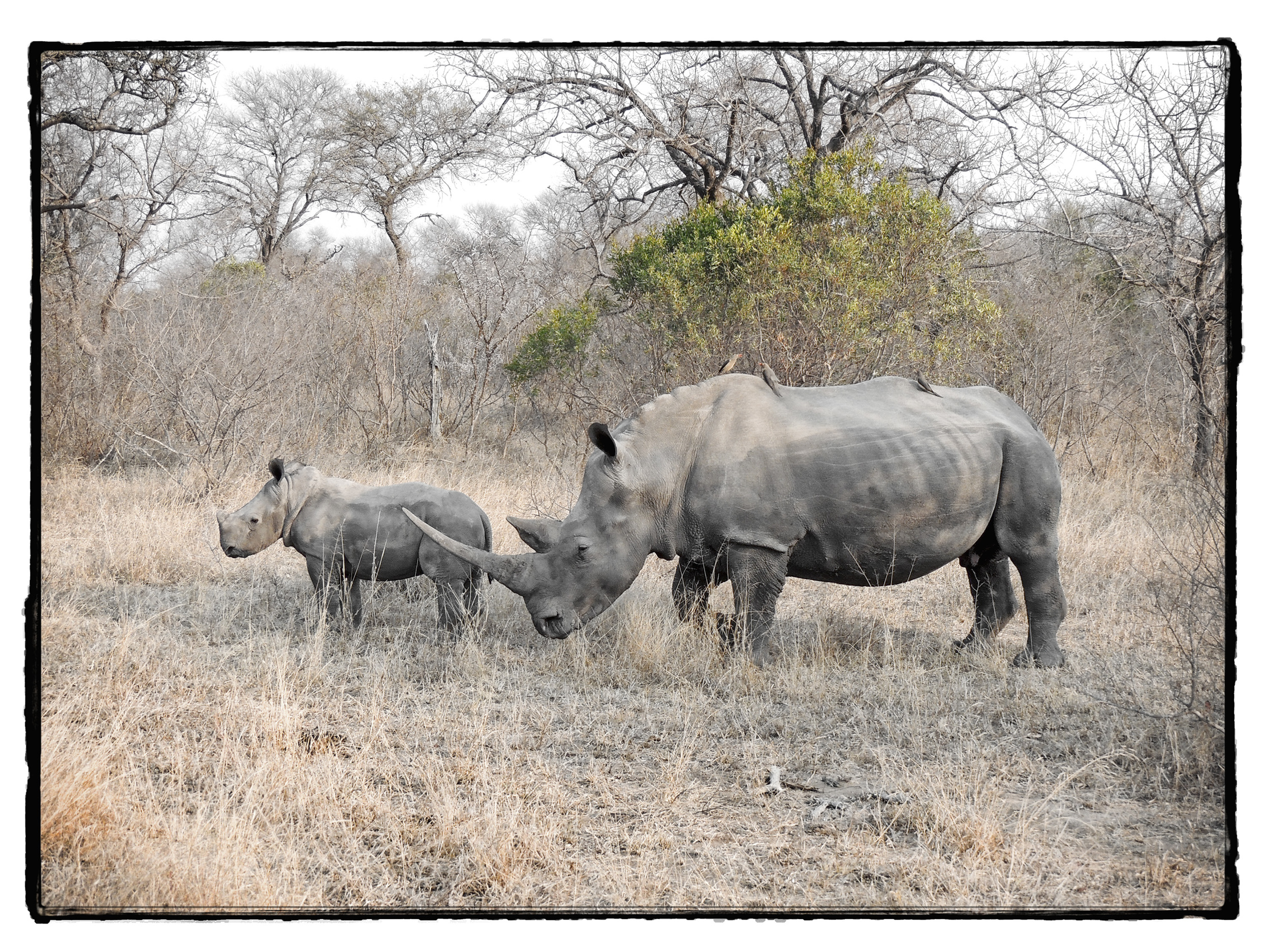 Thornybush #15
