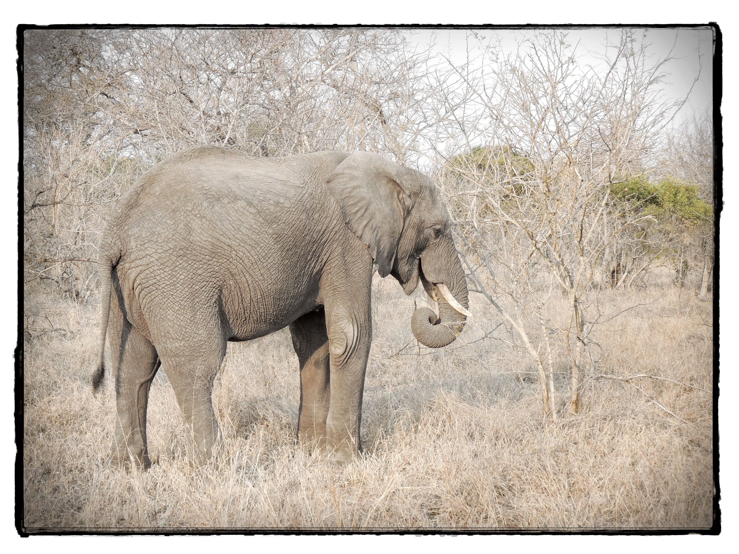Thornybush #17
