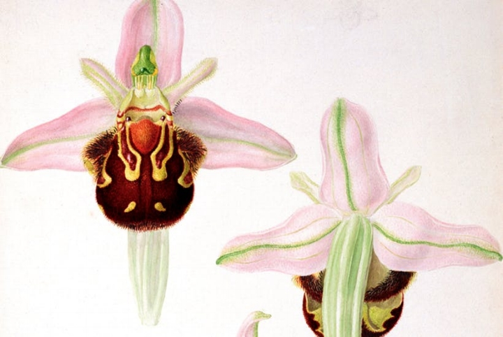 Orchids by Franz Andreas Bauer