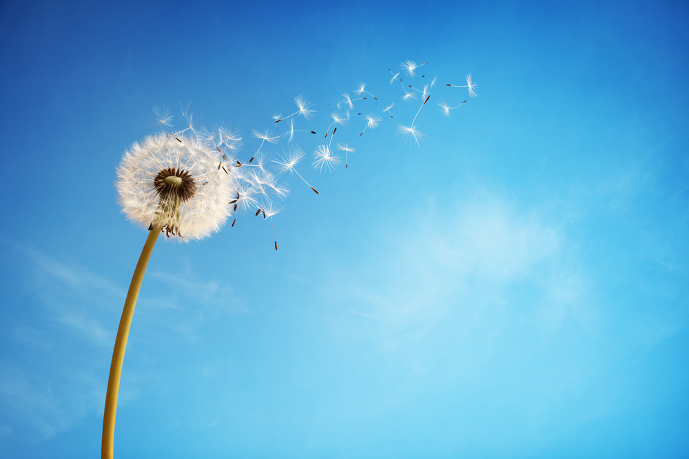 dandelion fluff2.jpg