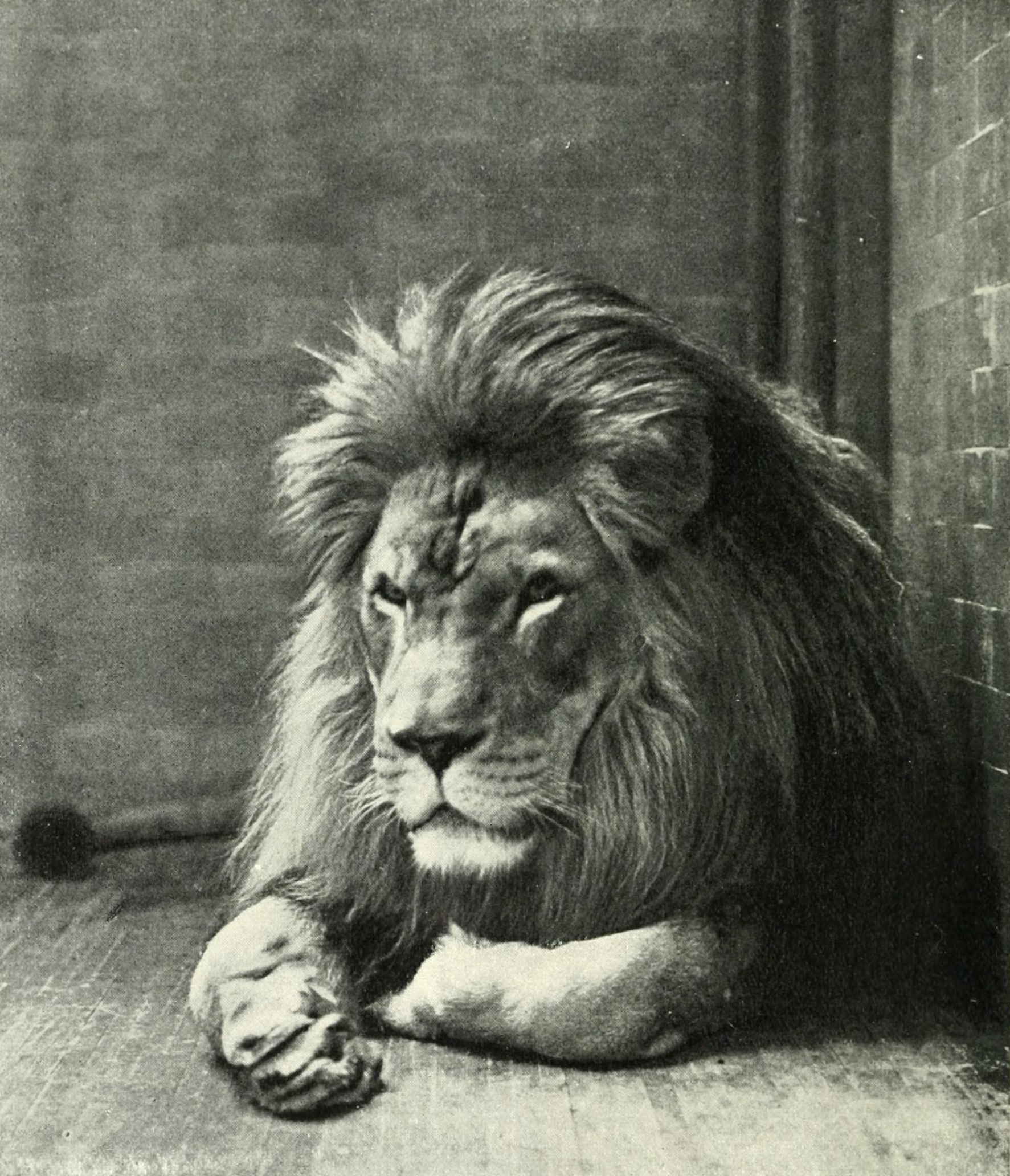 """Sultan the Barbary Lion"" by Nelson Robinson  via Wikimedia Commons"