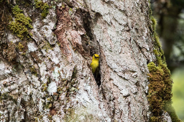 Yellowhead Mohua