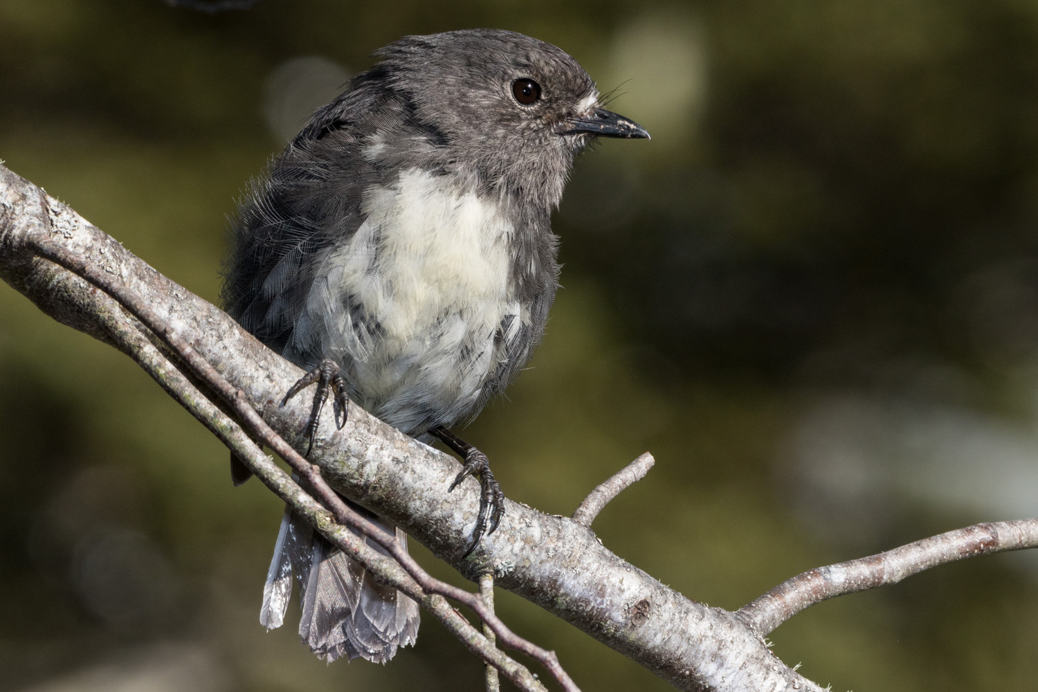 South Island Robin Toutouwai