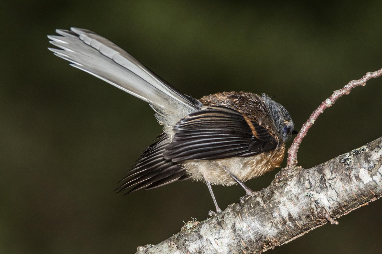 Fantail Piwakawaka
