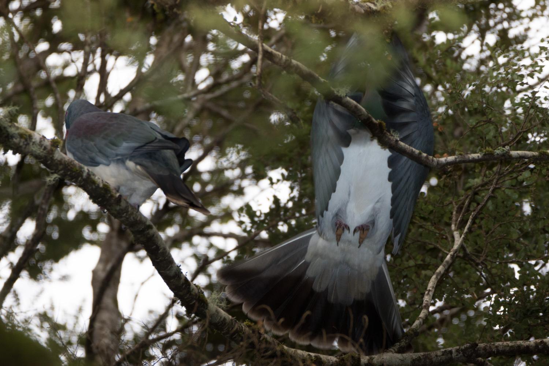 NZ Pigeon Kereru