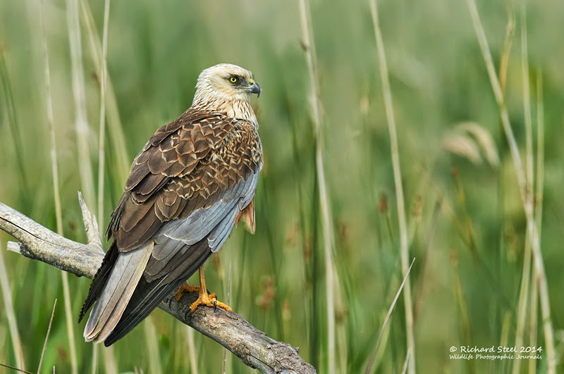 A Marsh Harrier as photographed by Richard Steel, who is working with Peel Energy on this project.