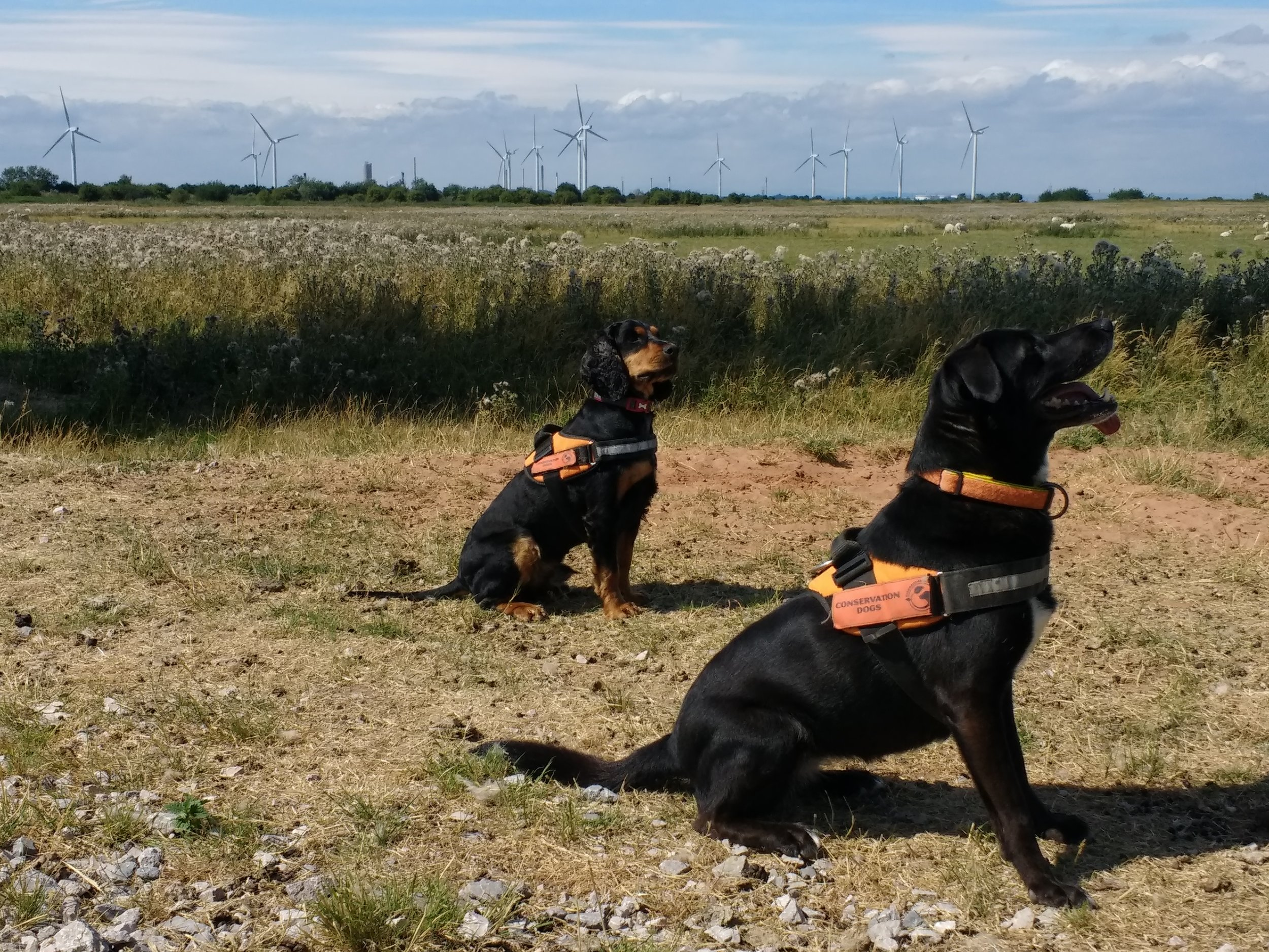 In April we introduced you to our furry friend Arnold, now meet Sascha and Rockstar who are also part of our environmental survey team!    All three will be on the wind farm till the end of September, helping us out with our bat   surveying.
