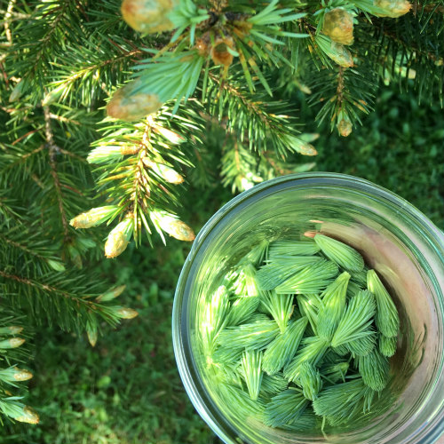 Plucking Spruce tips for tea and for pickling.