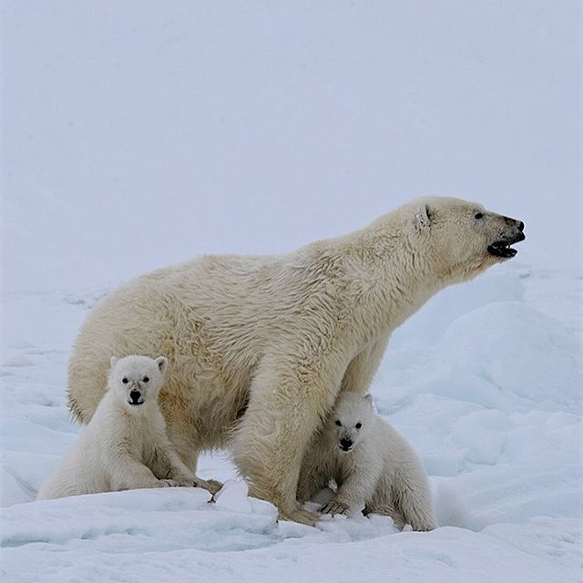 A female polar bear scans the ice flow in Svalbard while her cubs curiously keep an eye on me. Mother polar bears teach their cubs when and where to get on and off the ice, where to travel safely, and very importantly, how to hunt successfully. I took this photograph right after the female had nursed one of her cubs. #svalbard #polar #polarbears #arctic #savingthearctic #climatechange #bwsp #conservation #expedition #mattiasklum #cubs #mom #predator @natgeo @natgeocreative @thephotosociety @mattiasklumcollection @bigworldsmallplanet