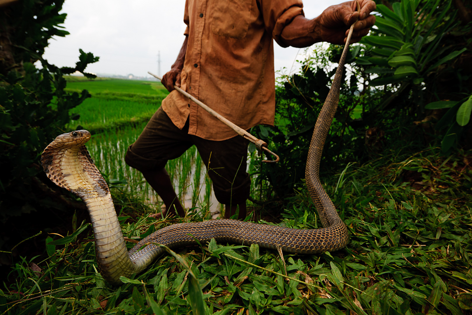 He keeps a few snakes for his family to eat and sells the rest to a local restaurant or an exporter. A cobra can bring a hundred dollars—a lot in rural Vietnam.