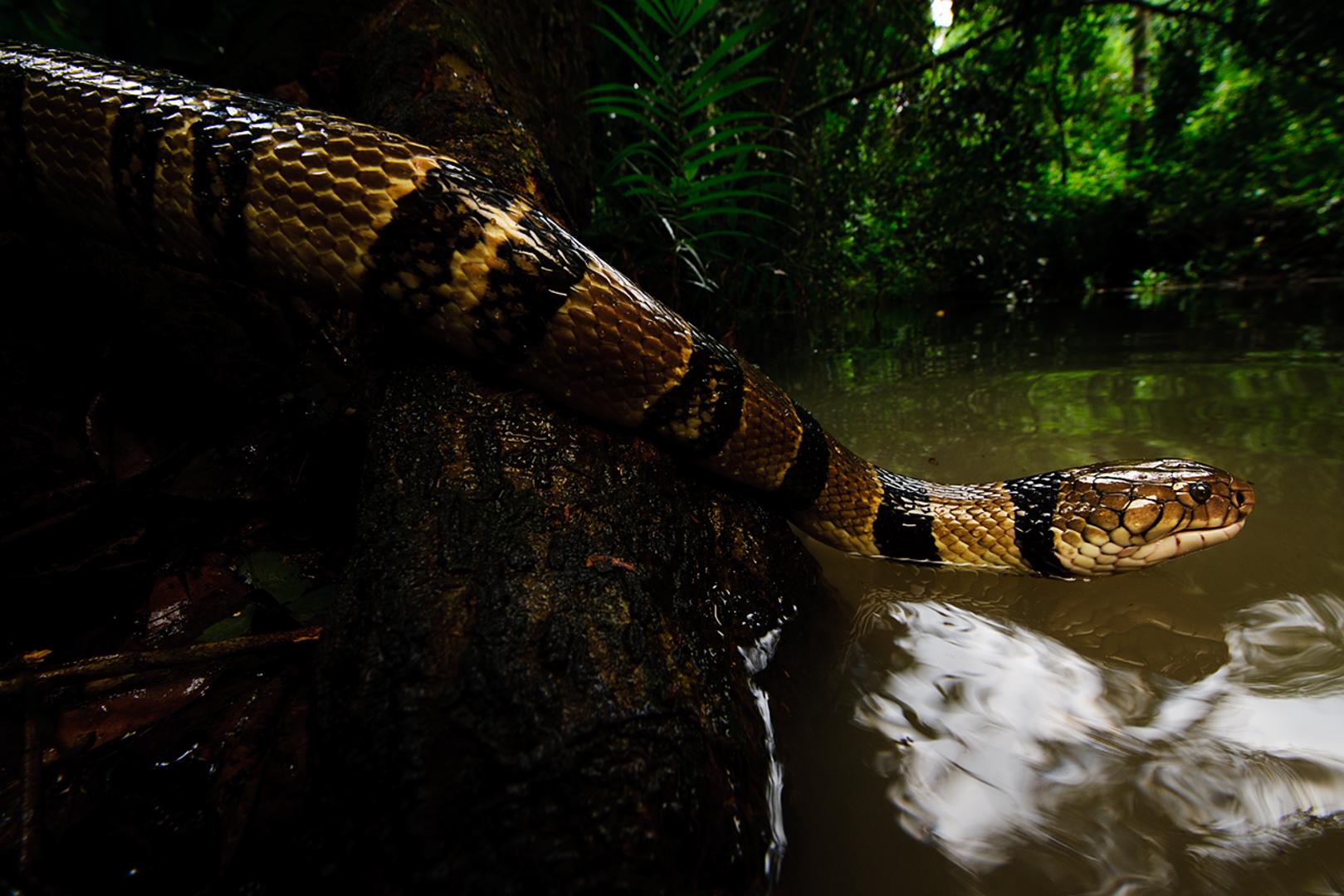 Water cobra (Boulengerina).