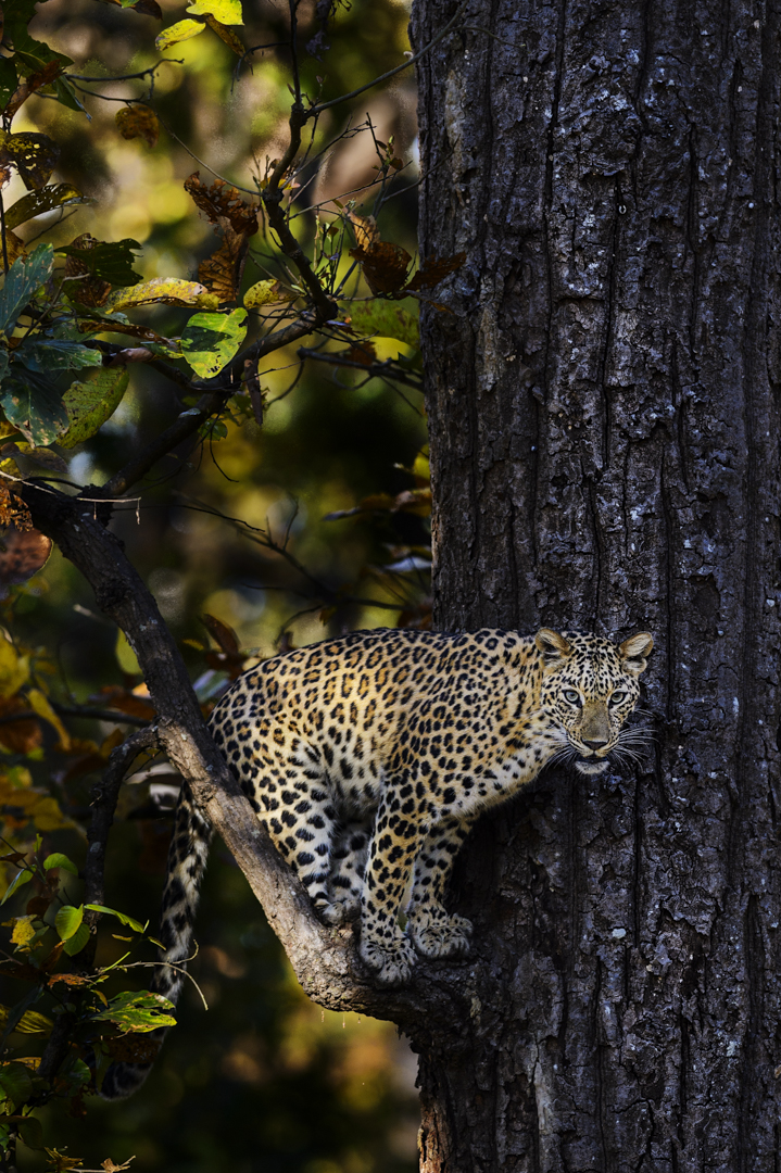 Leopard, Kanha, India. The prophet Jeremia writes that a leopard can't change its spots, and that's true. Each leopard has its own individual pattern all its life, unlike lions who are born with spots that gradually fade away.