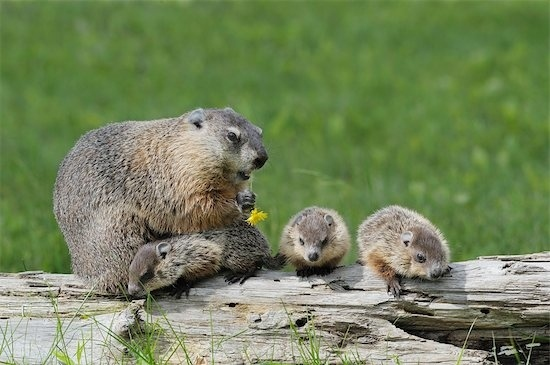 What is a Groundhog?