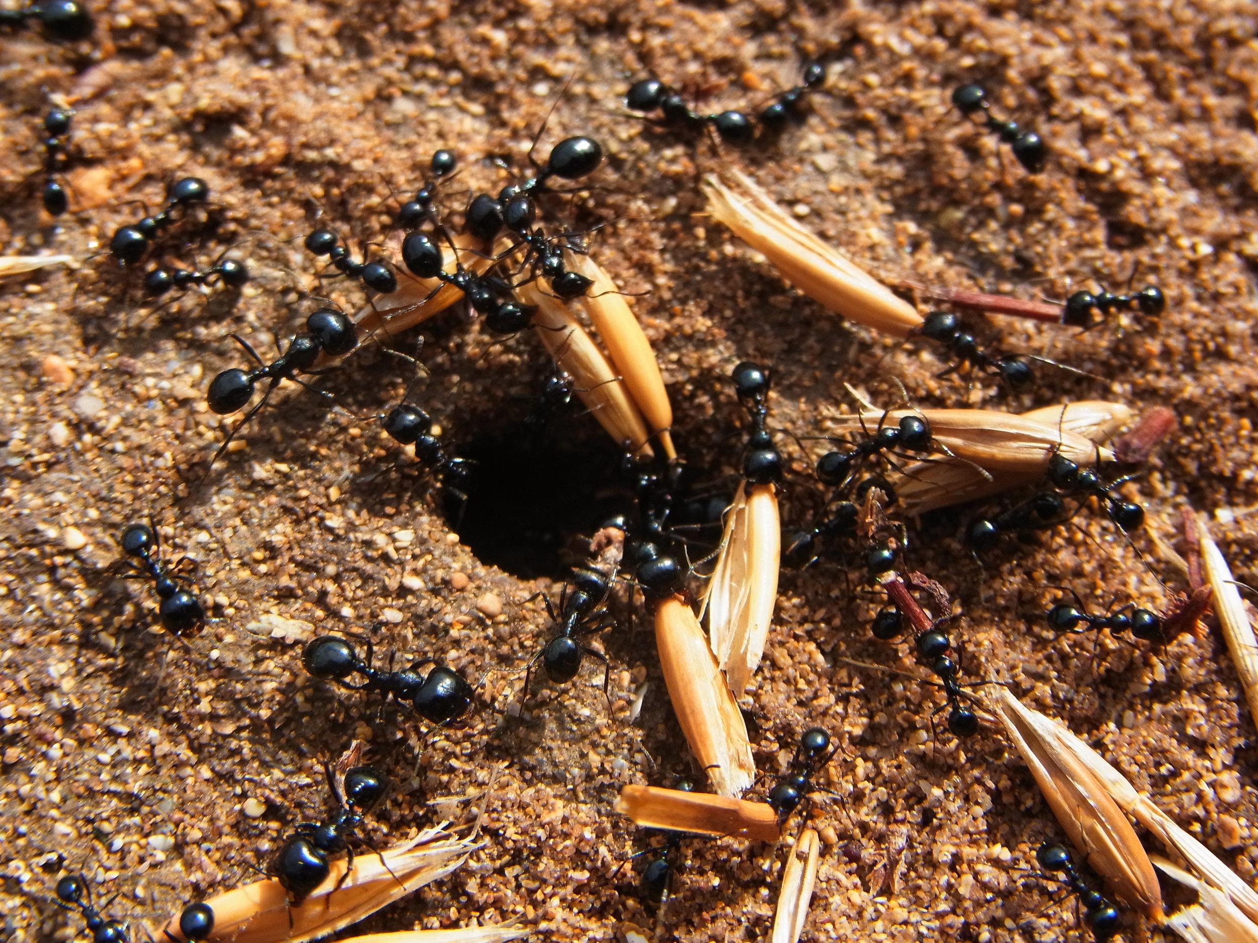 Ants_CBMen_4.JPG