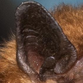 bat ear.jpg