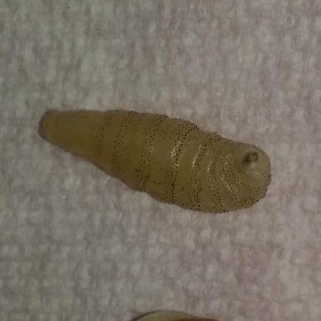 botfly larva