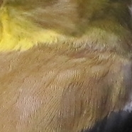 goldfinch closeup.jpg