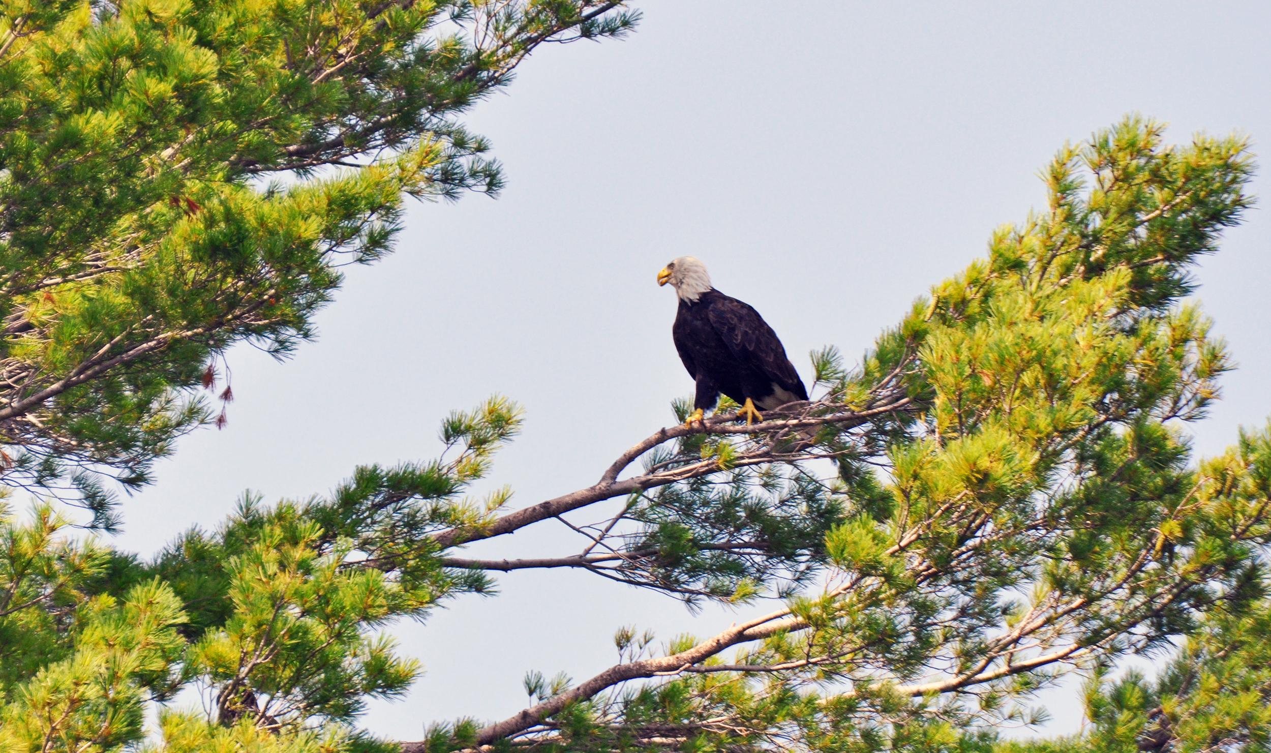 Eagle on Tree Ely copy.jpg