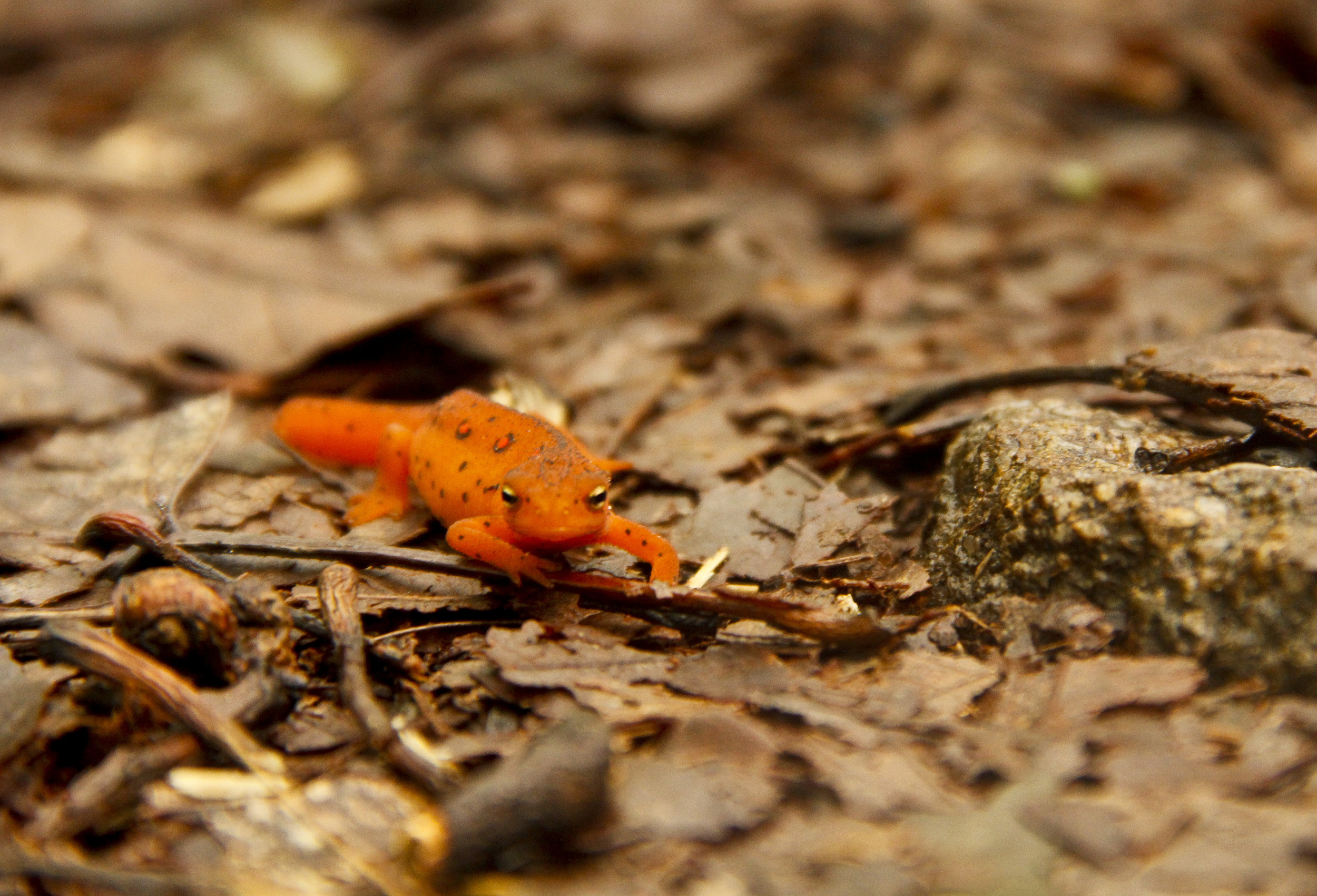 The Red Eft is a common passenger on the trail after a rainy day.