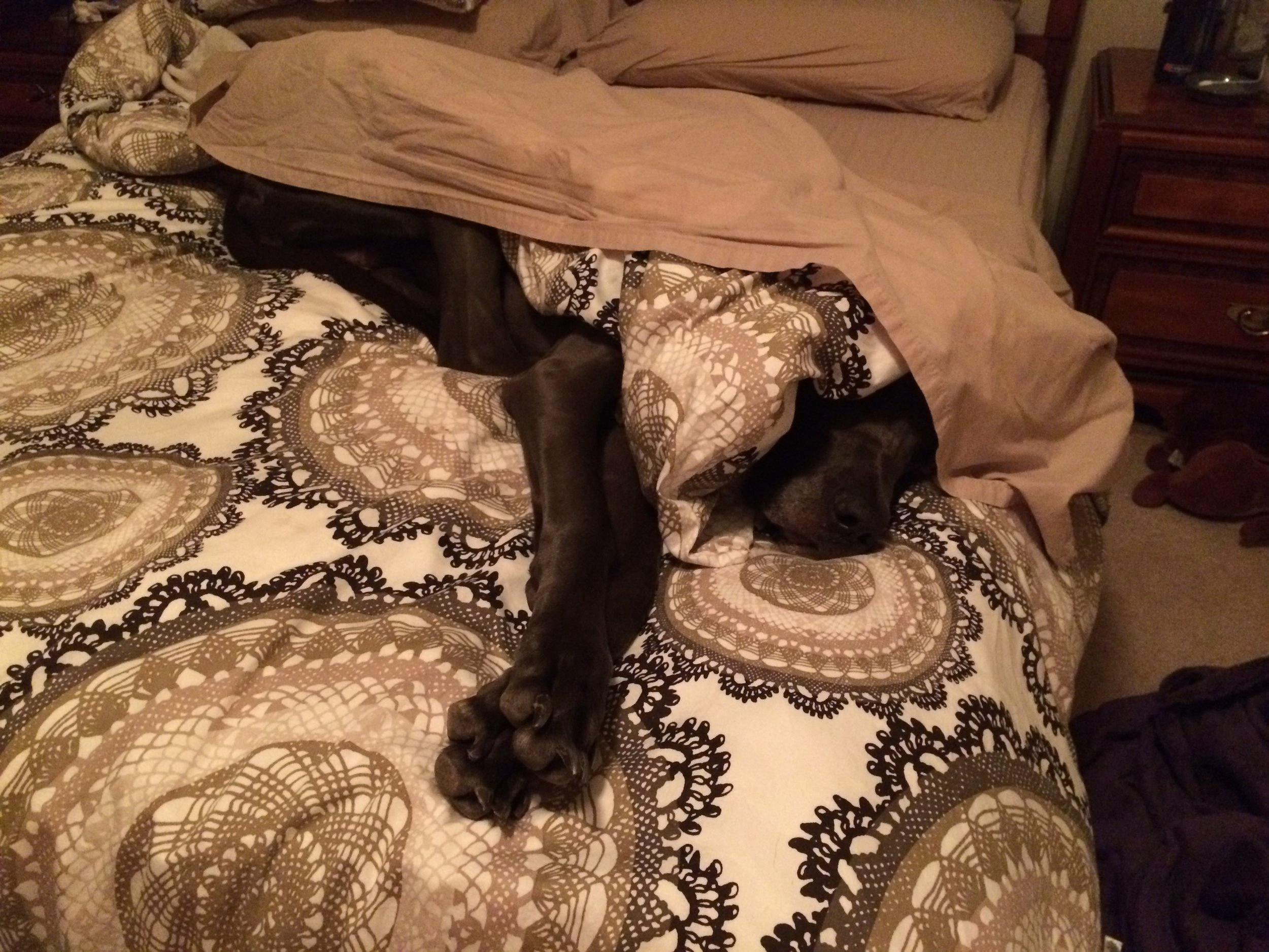 """A puppy that's probably bigger than your full-grown dog, """"helping"""" me make the bed."""